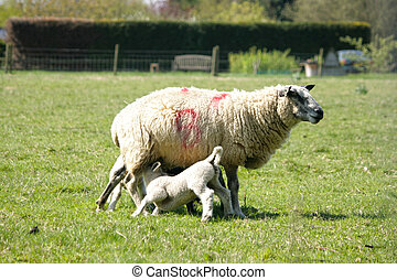 Spring lambs with their mum - Spring lambs feeding with the...