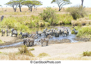 Zebras drinks water in Serengeti - African zebras drinks...