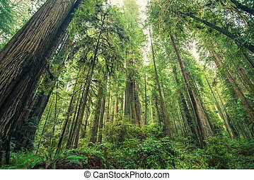 Giant Redwoods Forest, Northern California, United States...