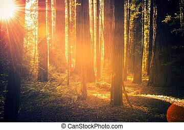 Redwood Forest Scenery. Summer Sunset in the Forest....
