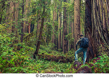 Redwood Hiking. Men with Backpack Surrounded By Redwood...