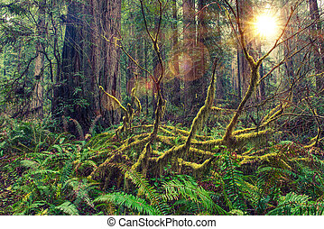 Redwood Rainforest - Redwood Scenic Rainforest of American...
