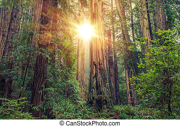 soleado, secoya, bosque,