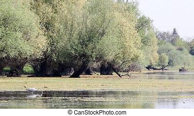 grey heron hunting fish in swamp
