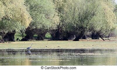 grey heron walking in swamp