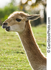 Portrait of Vicuna in backlight