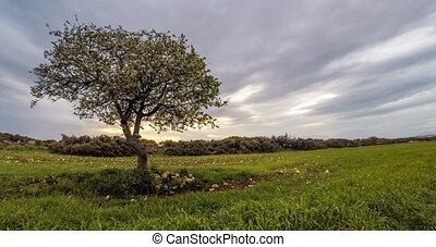 Single blossoming apple tree at sunset