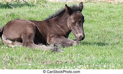 sleepy foal lying on grass