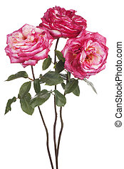 rose - Studio Shot of Pink Colored Rose Flowers Isolated on...