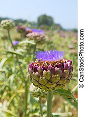 Field artichoke with purple flowers