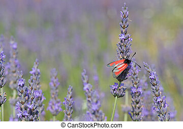 Red butterfly on Lavender flowers