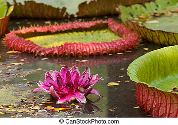 Leaf of victoria waterlily float on waterResemble heart...