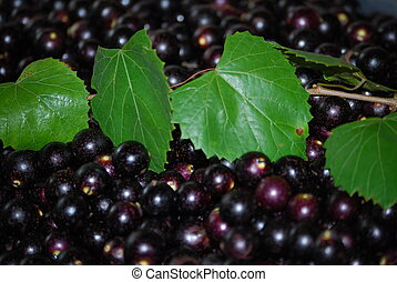 Muscadine Grapes - close-up of mucadine grapes
