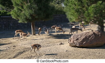 Herd of goat feeding