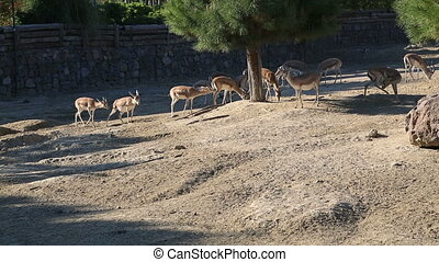 A herd of gazelle, feeding