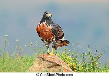 Jackal buzzard - A jackal buzzard (Buteo rufofuscus) perched...