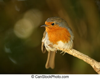 Robin - Portrait of a male Robin
