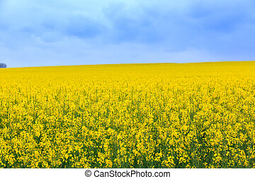 Canola field - Flowering field of canola outdoors in spring...