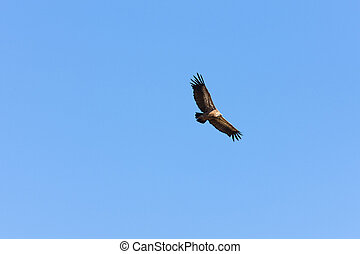 bird of prey, Serra de Mogadouro, Portugal