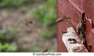 Bees returning to the hive. - Bees fly continuously for...
