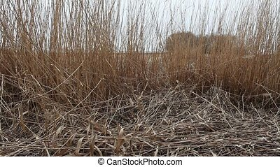 Dry reeds in the wind - thickets of dry reeds rustle in the...