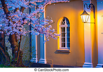 Night scene of blooming sakura illuminated by lamp from the...
