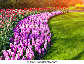 Marvellous hyacinth and tulips flowers in the Keukenhof...