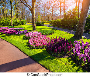 Marvellous hyacinth flowers in the Keukenhof park, used as...