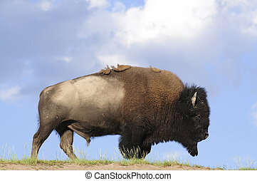iconic buffalo - iconic North American buffalo in...