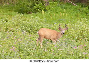 Mule deer tiptoeing through the wildflowers - male Mule deer...