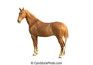 SaddleBred - American saddlebred horse on a white backround