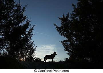 Wolf dog - Picture of a wolf dog at dusk.
