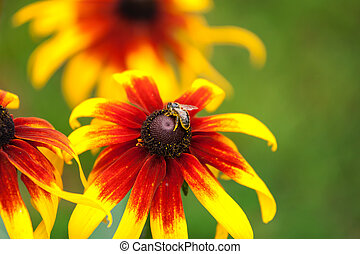 Bee on rudbeckia flower - Honey bee gathering pollen on...