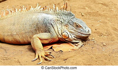 Iguana or lizard on yellow sand in desert