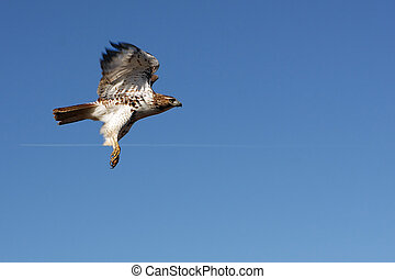 Red-tailed Hawk In Flight In Morning Sun