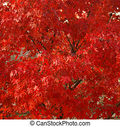 Maple leaves - Canadian Red Maple leaves useful as a...