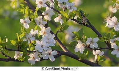 Spring Evening in the Fruit Orchard - Fruit Tree Branch with...