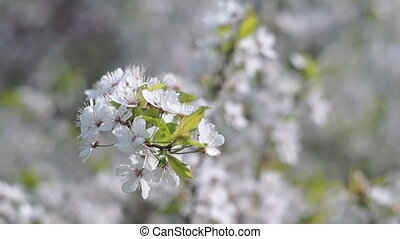 Spring in the Fruit Orchard - Fruit Tree Branch with White...