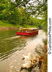 Feeding swans and boat sailing down river - Sunset view of...