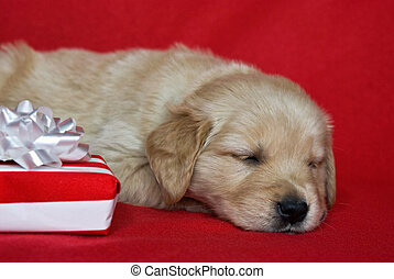 Christmas Morning - Golden retriever pup with holiday gift.