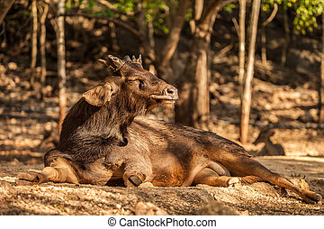 Sambar Deer in the park - Sambar Deer enjoys the sunshine in...