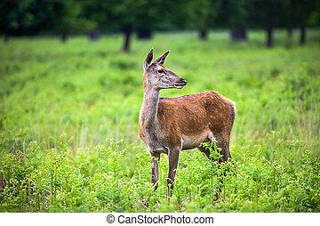 Roe Deer in the park - Roe Deer in the Richmond park of...