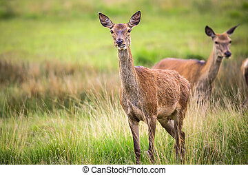 Roe Deer in the park of England - Roe Deer in the Richmond...