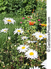 Daisies in garden - Large white ox-eye daisies (Leucanthemum...