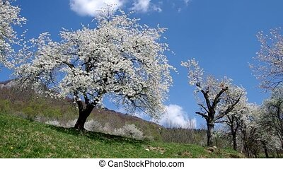 Cherry trees in spring - Blooming cherry trees in spring