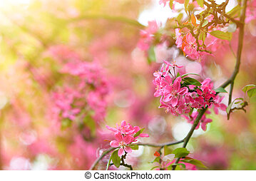 Sakura tree blooming in spring detail