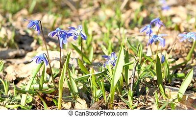 Blue snowdrops ( bluebell ) - first spring flowers in the sunshine .
