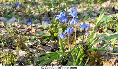 Blue snowdrops bluebell - first spring flowers in the...