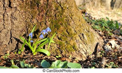Blue snowdrops in the forest under a tree. - Blue snowdrops...