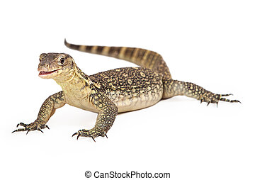 Asian Water Monitor Open Mouth Isolated - Varanus salvator,...
